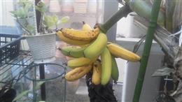 バナナ420_R