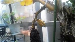 バナナ426_R