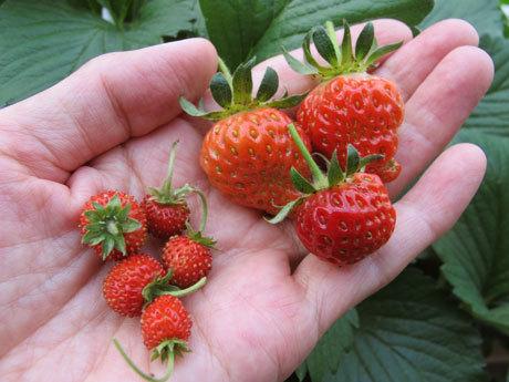 5/23 収穫しためちゃウマと普通の四季なり