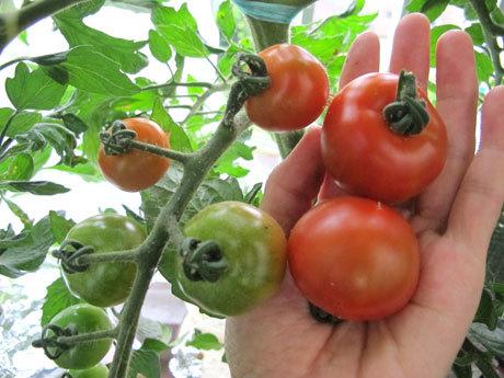 6/7 左がエアレーションあり。右がなしのトマトの実