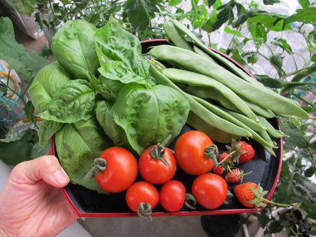 6/9 この日の収穫。トマトとバジルとイチゴとインゲン
