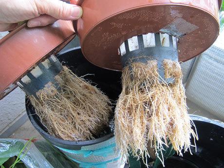 水耕栽培のインゲン その根っこ