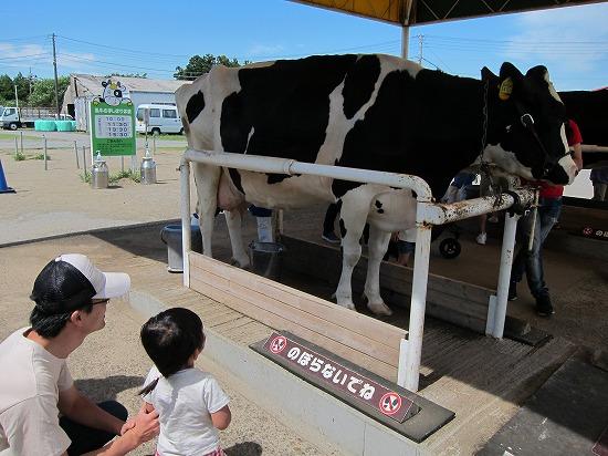 マザー牧場牛