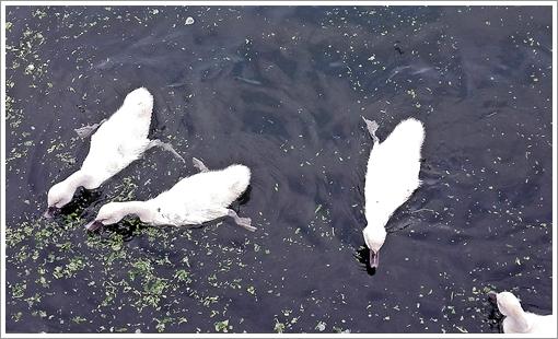 2017tokiwapark_swan03.jpg