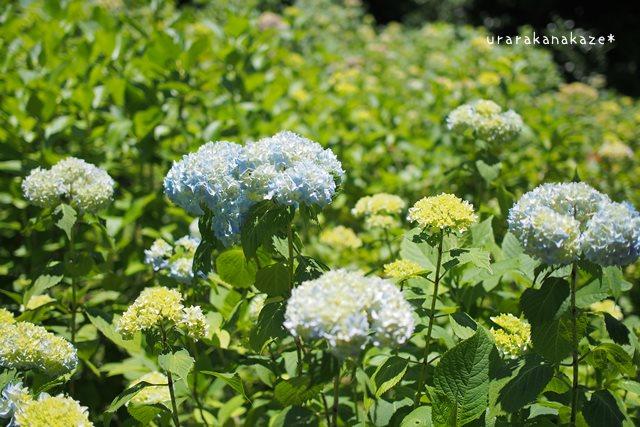 神戸市立森林植物園 アジサイ