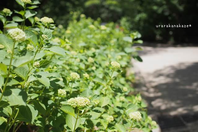2017年6月18日 神戸森林植物園 アジサイ