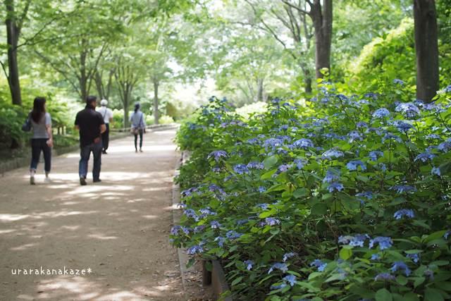 神戸市立森林植物園 クロヒメアジサイ