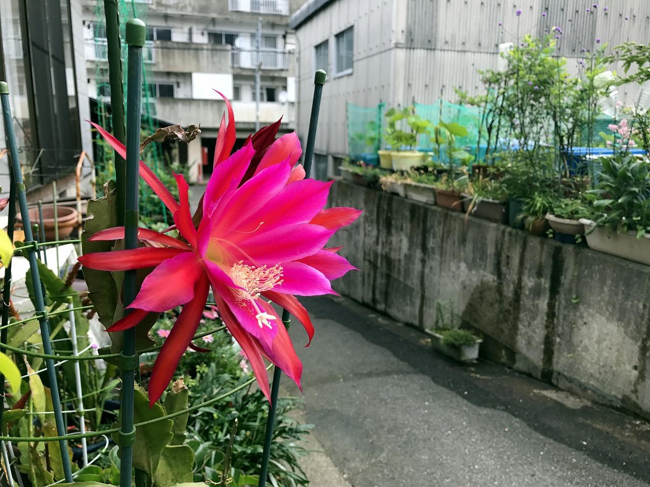 20170531-Epiphyllum-I01.jpg