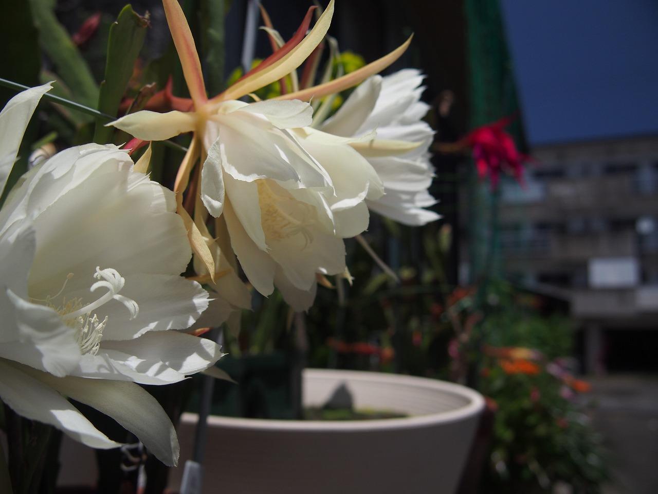 20170604-Epiphyllum-O01.jpg
