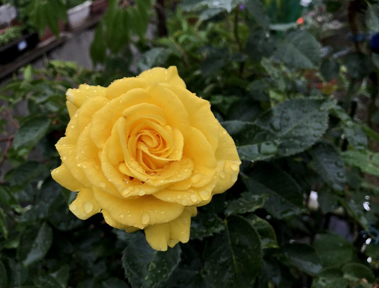 20170607-Rose_SunSprite-I01.jpg