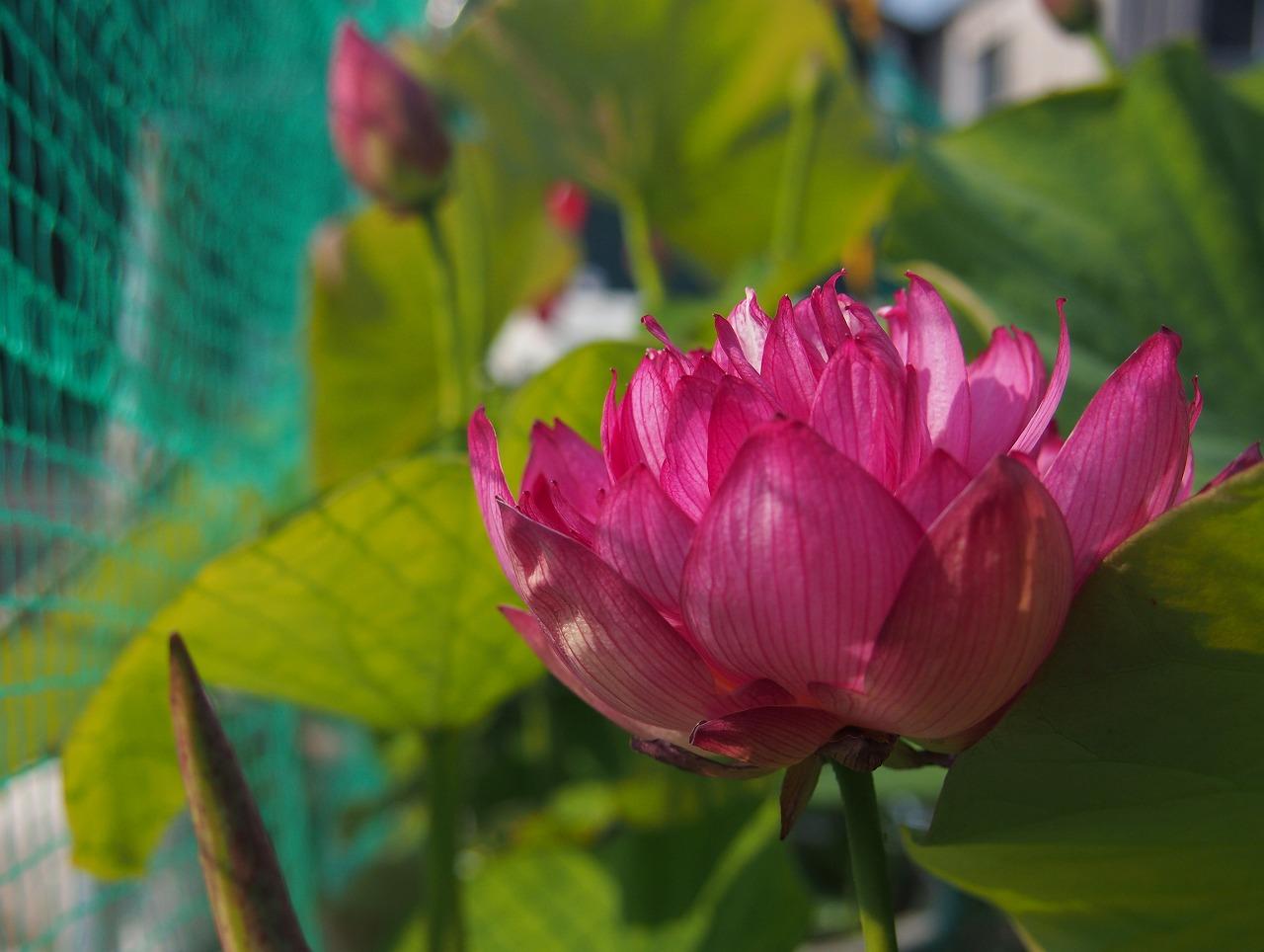 20170624-Lotus_Yaechawanbasu01-O02.jpg