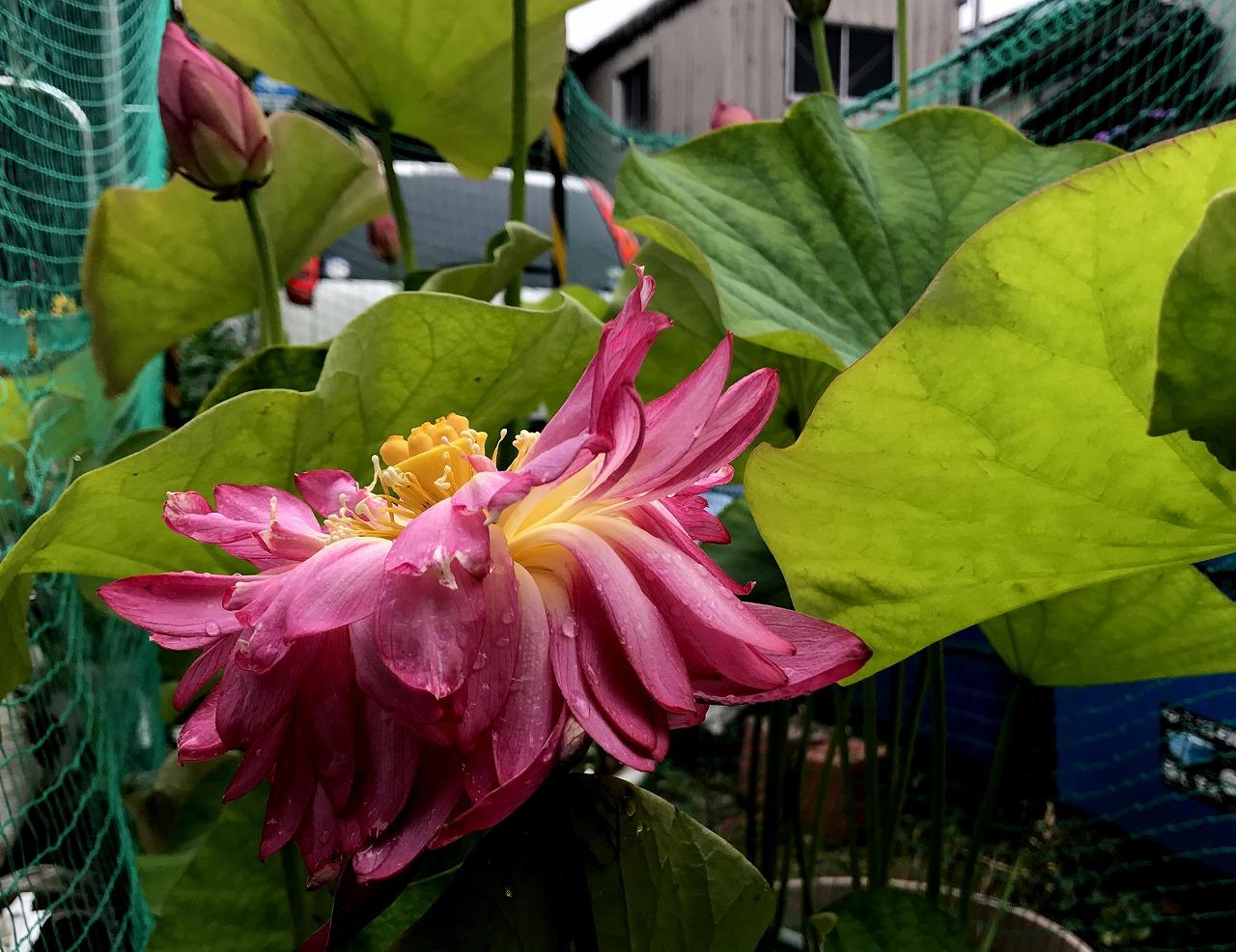 20170625-Lotus_Yaechawanbasu01-I01.jpg