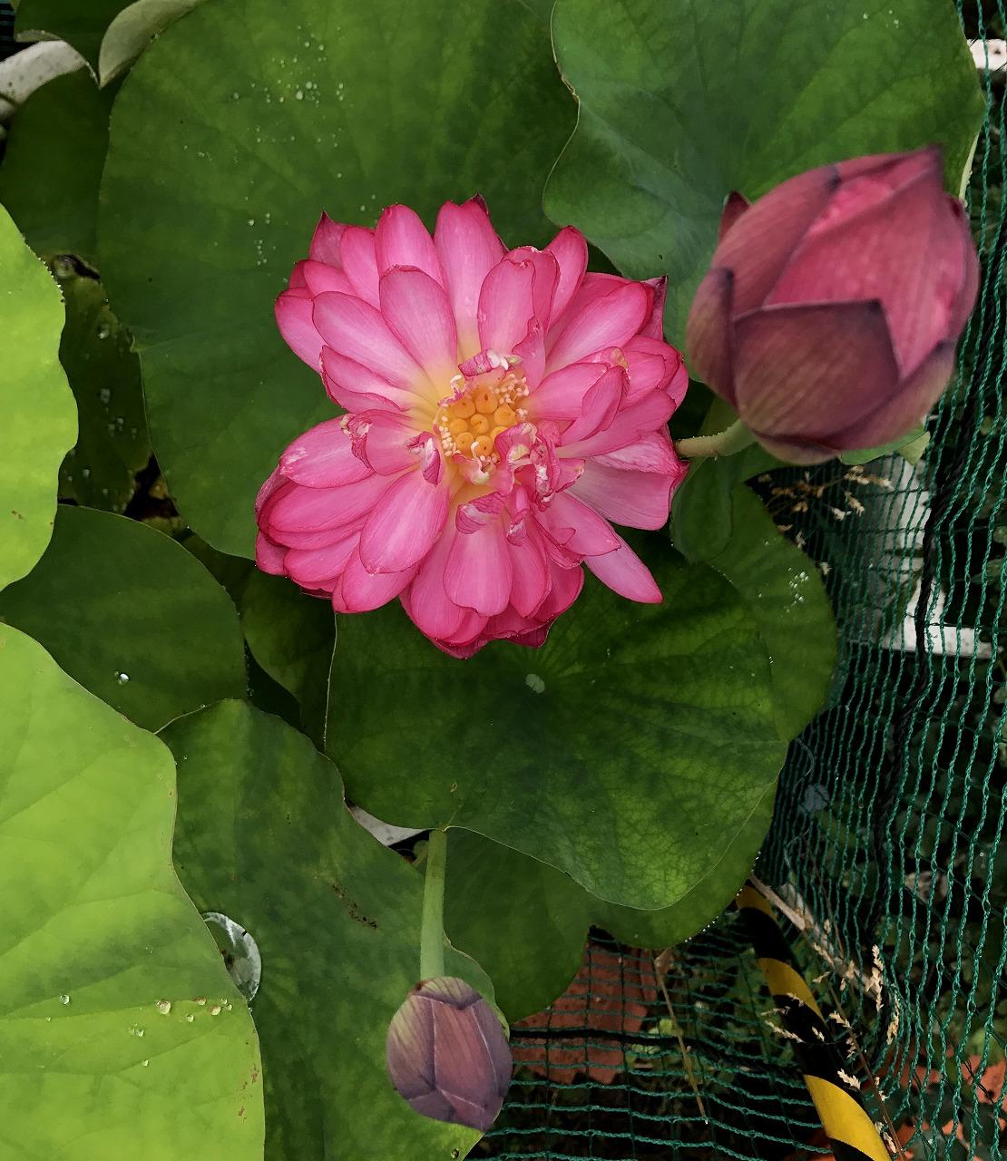 20170625-Lotus_Yaechawanbasu02-I01.jpg
