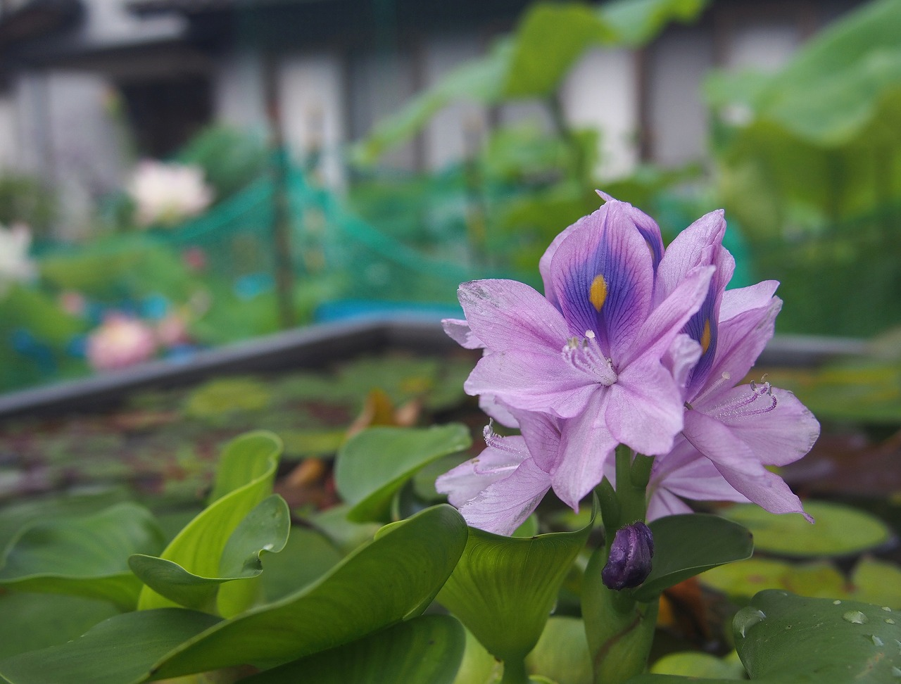 20170701-CommonWaterHyacinth-O01.jpg