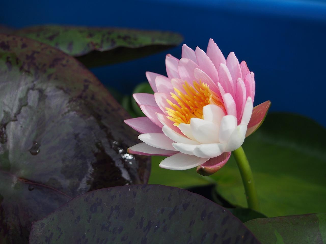 20170703-PinkDawn-O03.jpg