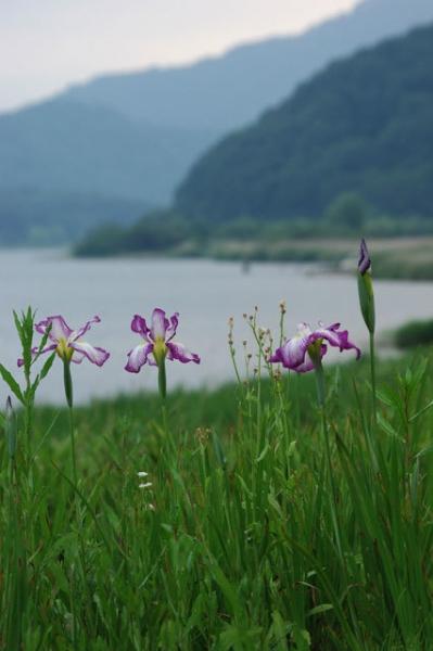 菖蒲と河口湖
