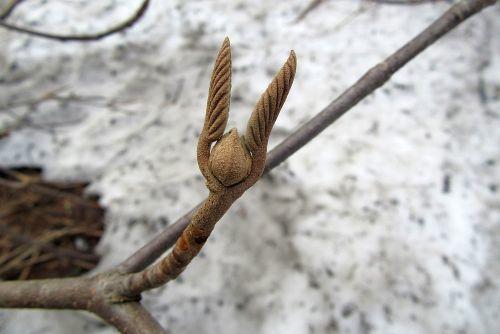 オオカメノキ冬芽