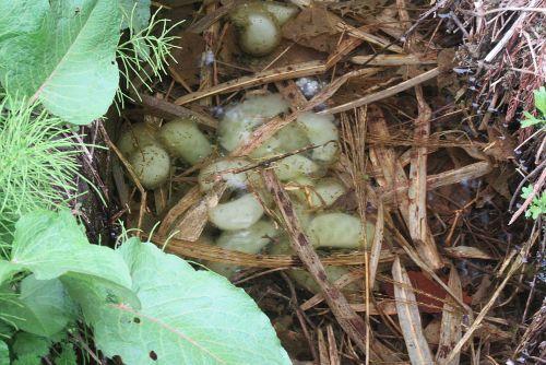 クロサンショウウオ卵塊