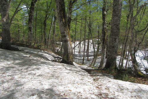 ブナ林と多量の残雪