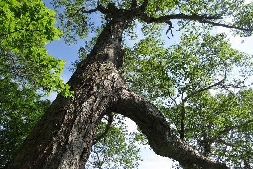 巨木林を下る