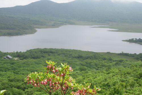 ウラジロヨウラクと雄国沼