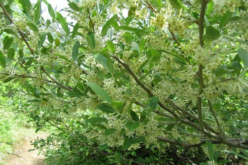 びっしり咲くアキグミ