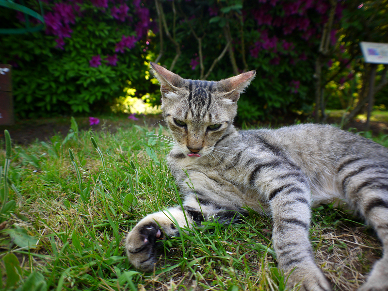 バラ園のキジトラ猫1