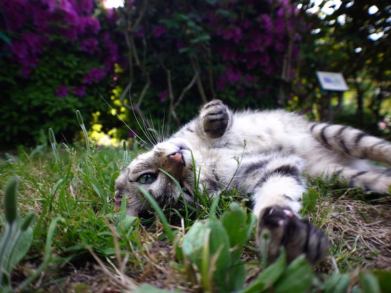 バラ園のキジトラ猫2
