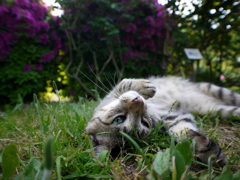 バラ園のキジトラ猫3