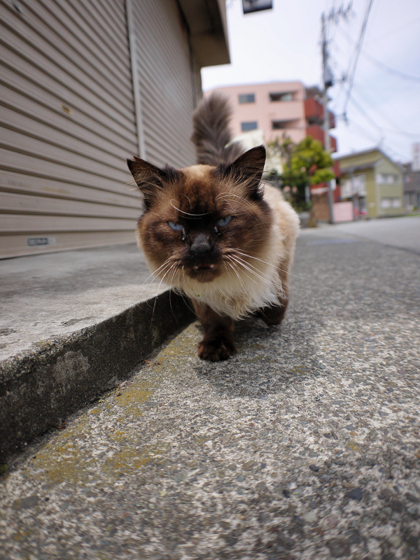 グングン寄って来た毛長の洋猫1