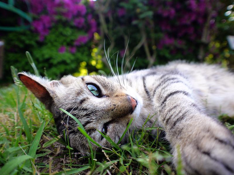 躑躅の前で寛ぐキジトラ猫1