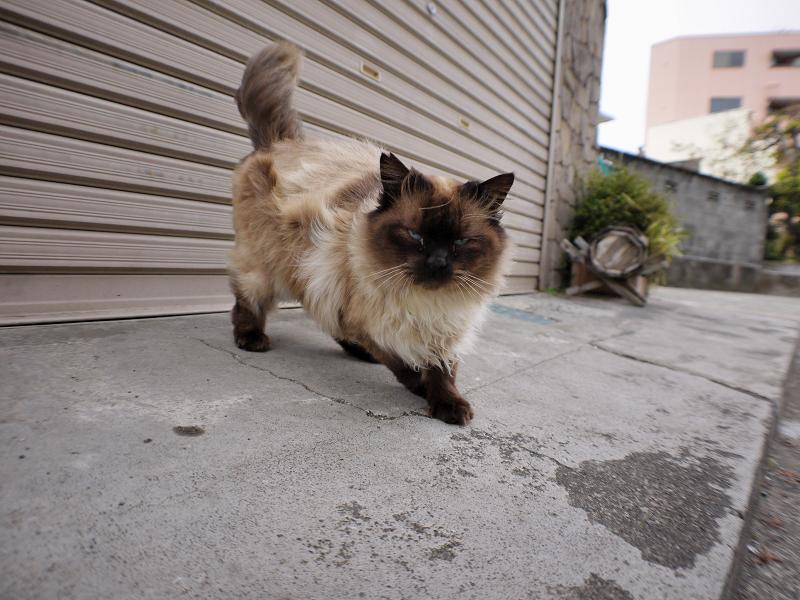 シャッター前の毛長洋風猫1