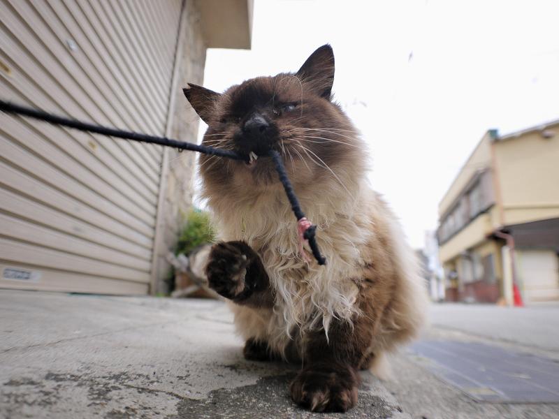 シャッター前の毛長洋風猫3