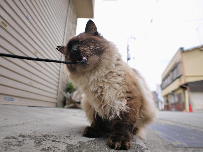 シャッター前の毛長洋風猫4