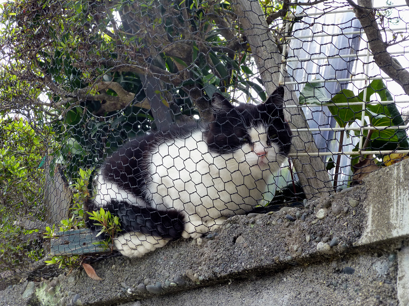 ブロックと金網と黒白猫1