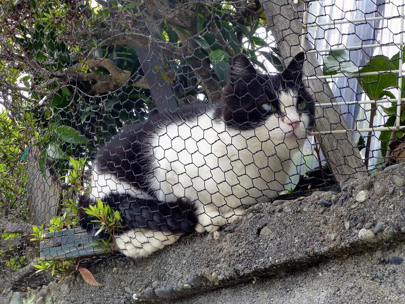 ブロックと金網と黒白猫2