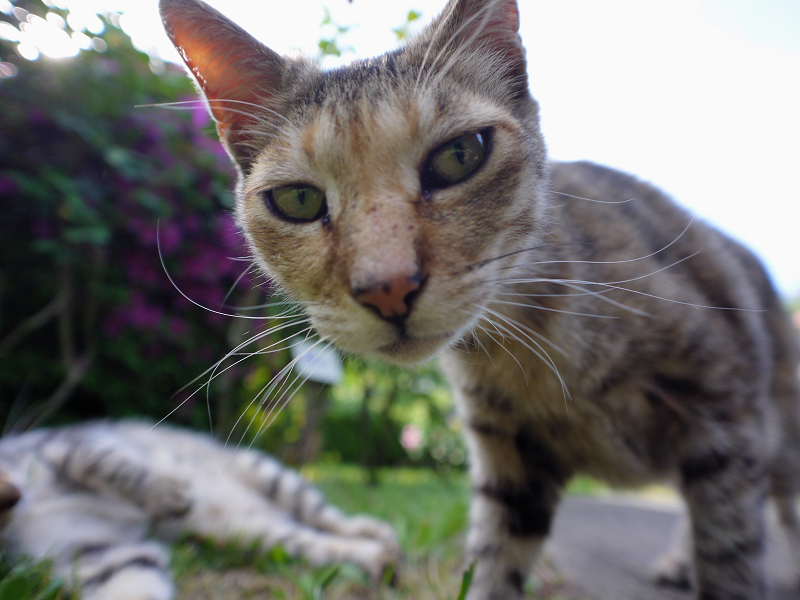 レンズを覗き込むキジトラ猫1