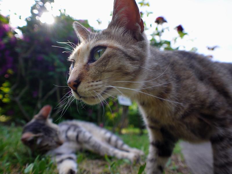 レンズを覗き込むキジトラ猫2