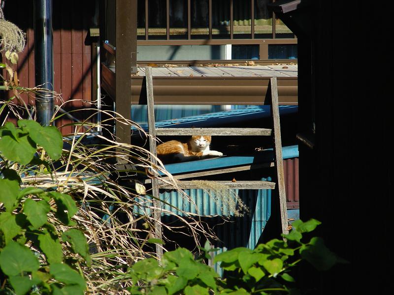 緑トタン屋根と茶白猫1