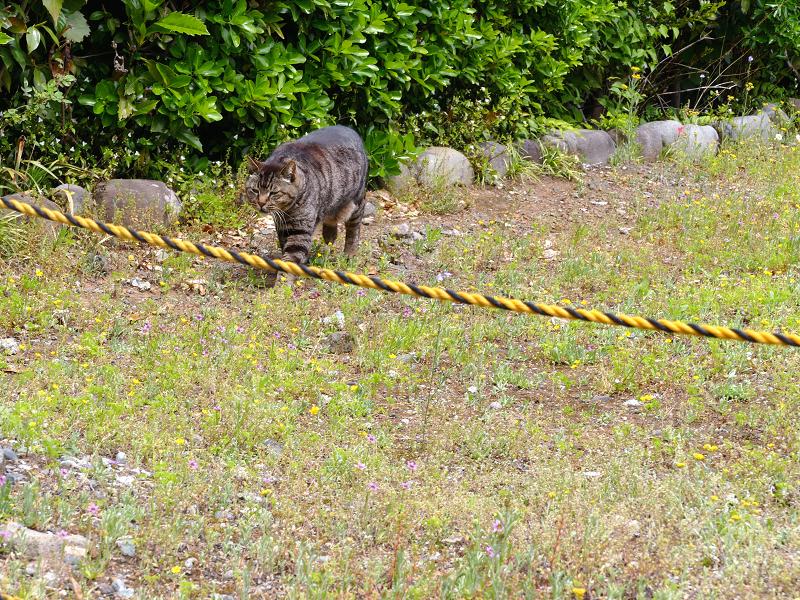 空き地と虎ロープとキジトラ猫2