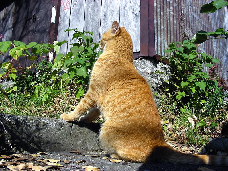 廃屋横と茶白猫2