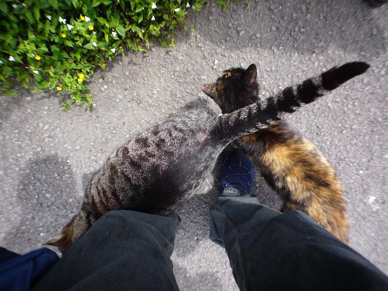 再会したキジトラ猫とサビ柄猫のコスコス2