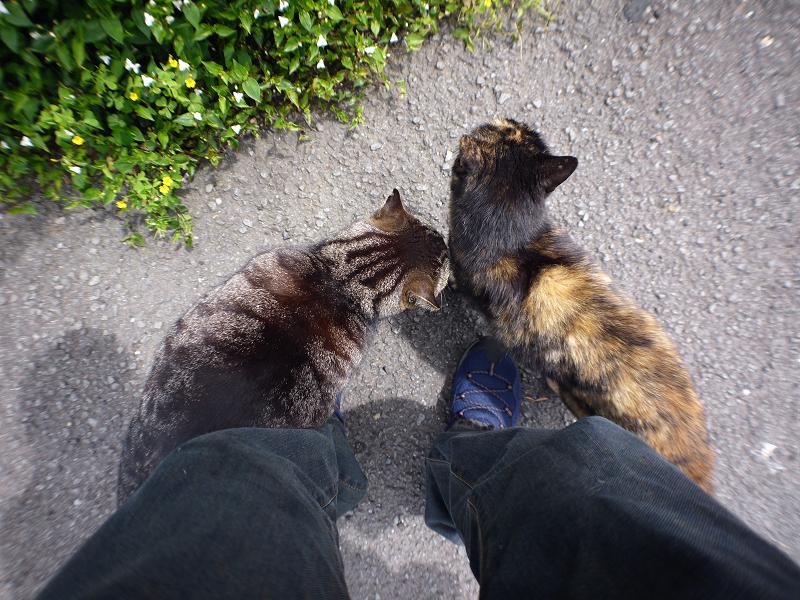 再会したキジトラ猫とサビ柄猫のコスコス3