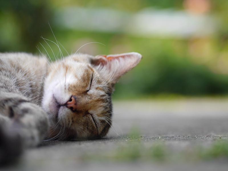 気持ちよさそうに寝ているキジトラ猫2