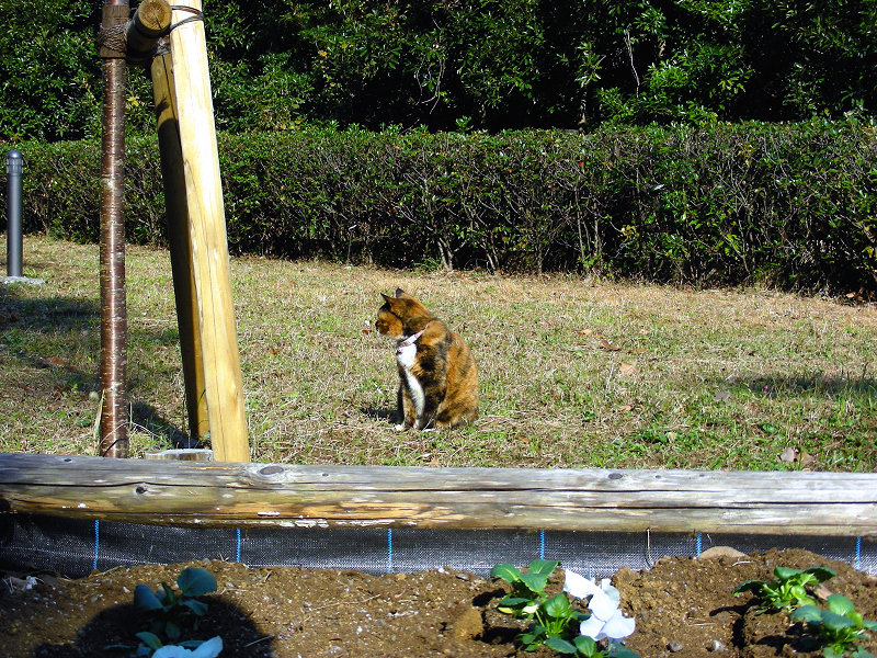 花壇の三毛猫1