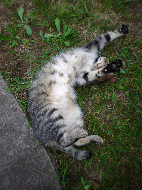 草むらで転がり続けるサバ白猫3