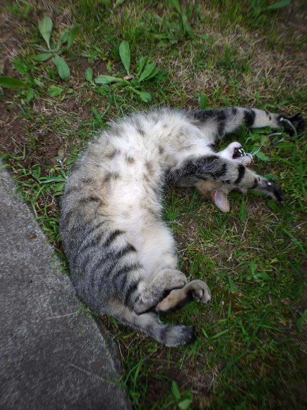 草むらで転がり続けるサバ白猫4