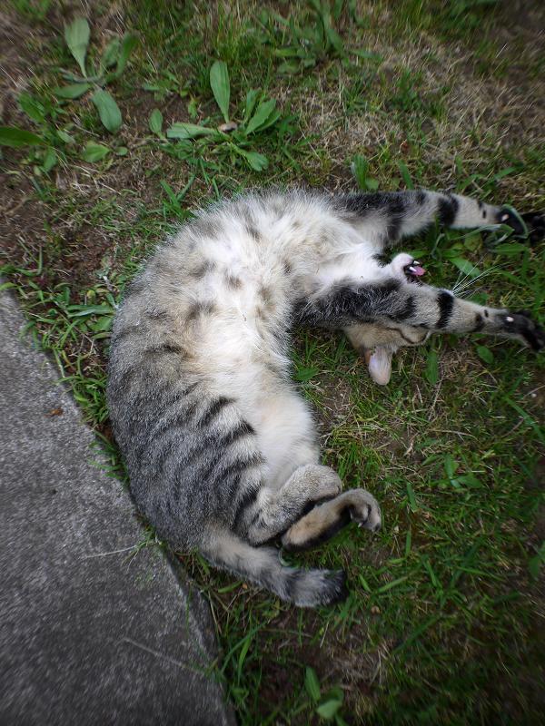 草むらで転がり続けるサバ白猫5