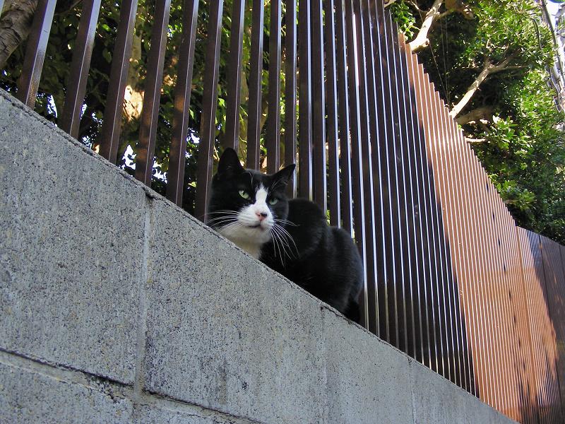 高い位置にいた黒白猫2