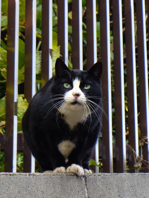 高い位置にいた黒白猫3